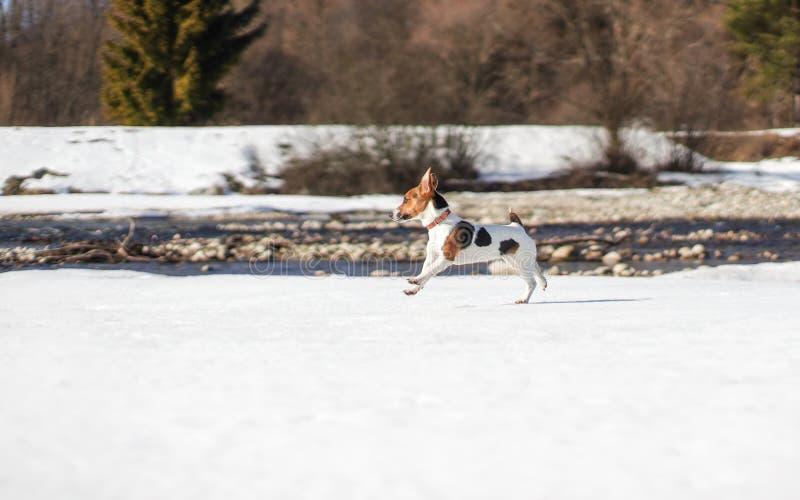 Le petit terrier de Jack Russell fonctionnant sur la neige par la rivière, le soleil brille sur elle image stock
