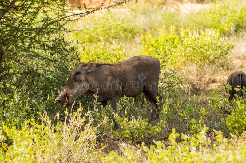 Le phacochère dans la savane du parc Samburu photographie stock libre de droits