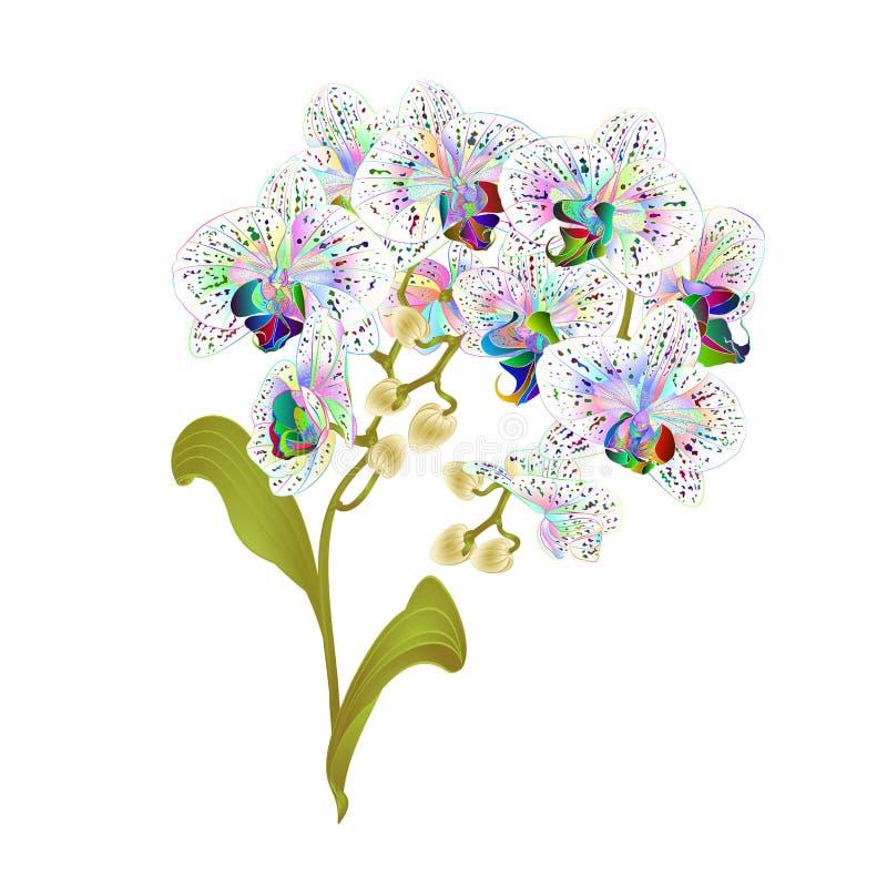 Le Phalaenopsis d'orchidée de branches a repéré la tige et les bourgeons verts colorés multi de plantes tropicales de fleurs et l illustration de vecteur
