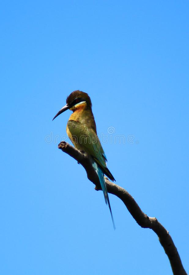 Le philippinus bleu-coupé la queue de Merops d'abeille-mangeur image libre de droits