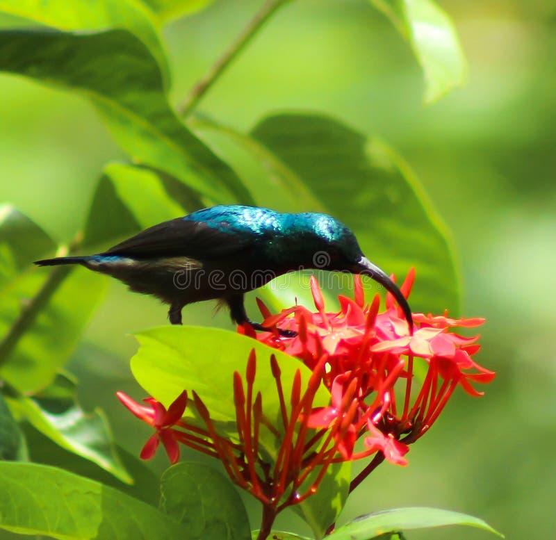 Le philippinus bleu-coupé la queue de Merops d'abeille-mangeur photo libre de droits