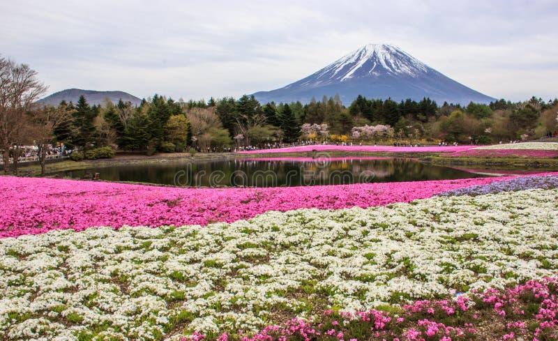 Le phlox de mousse shiba-Sakura met en place au premier rang de la montagne Fu images stock