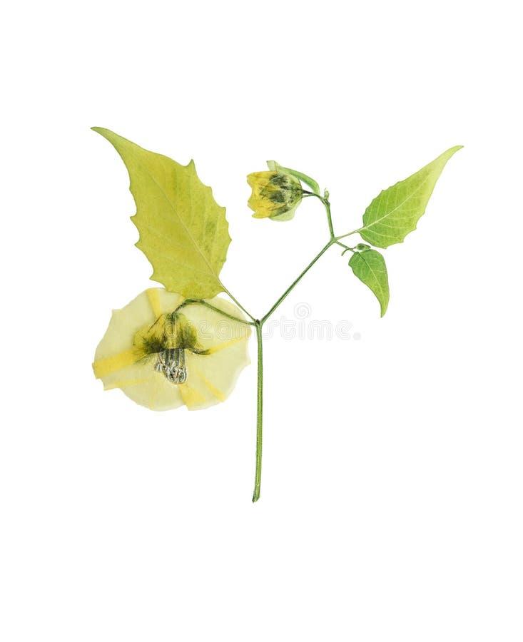Le physalis pressé et sec de fleur sur la tige avec le vert part de l'OIN image stock