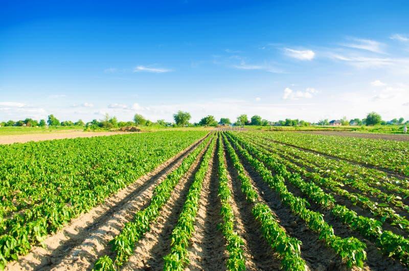 Le piantagioni di pepe si sviluppano nel campo file di verdure Agricoltura, agricoltura Paesaggio con terreno agricolo crops fotografia stock