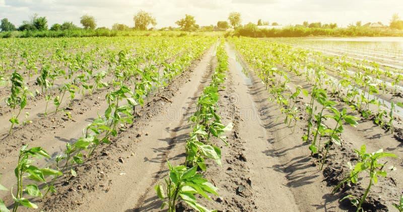 Le piantagioni di pepe si sviluppano nel campo file di verdure Agricoltura, agricoltura Paesaggio con terreno agricolo crops L'Uc immagini stock