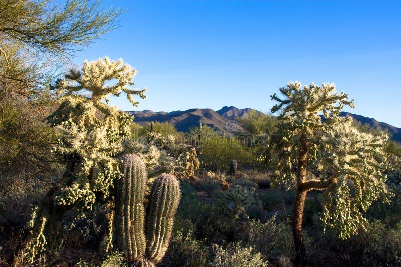 Le piante del deserto iconiche di Sonoran e una montagna in montagna di Tucson parcheggiano immagine stock