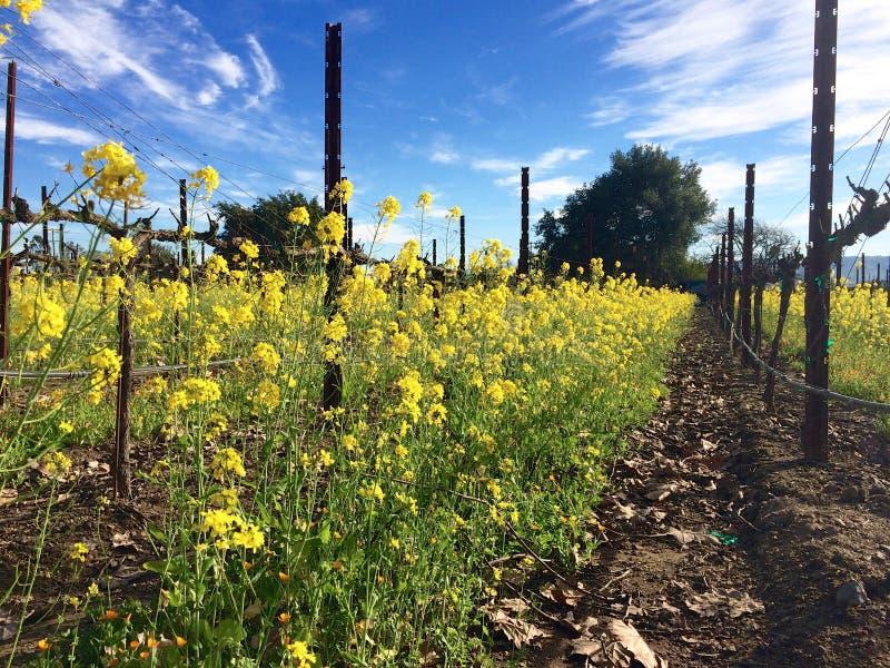 Le piante della senape forniscono la copertura per le viti fotografia stock libera da diritti
