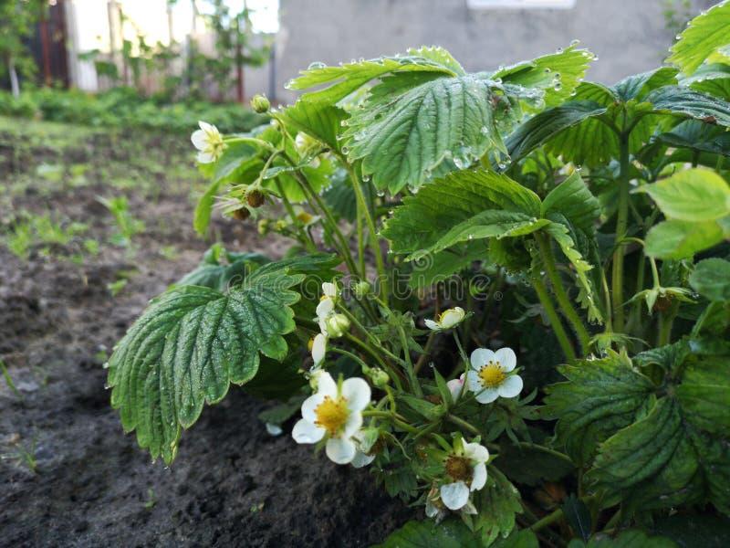 Le piante di fragole fioriscono nel giardino immagini stock libere da diritti