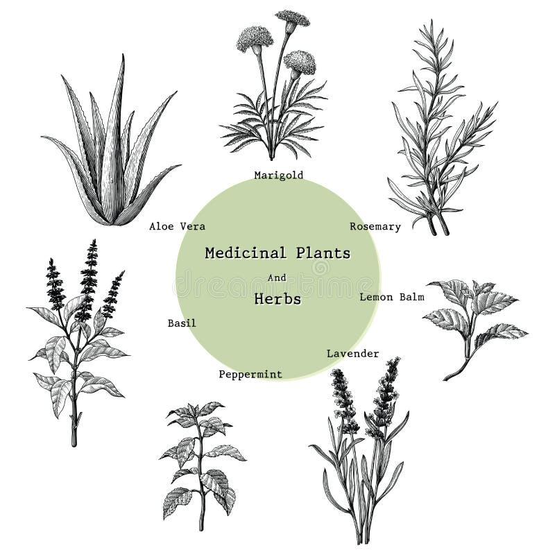 Le piante medicinali e le erbe passano a disegno il illust d'annata dell'incisione illustrazione vettoriale
