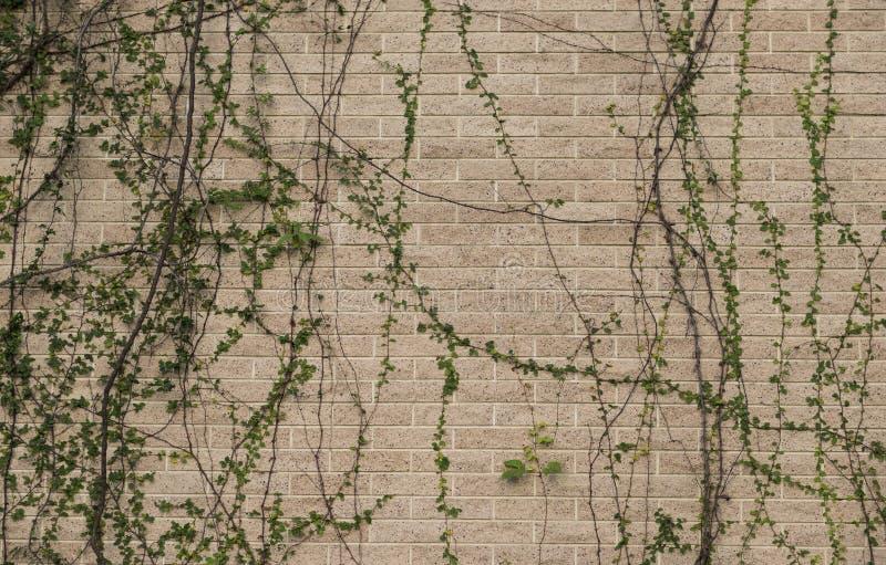 Le piante scalano la vecchia parete immagine stock libera da diritti