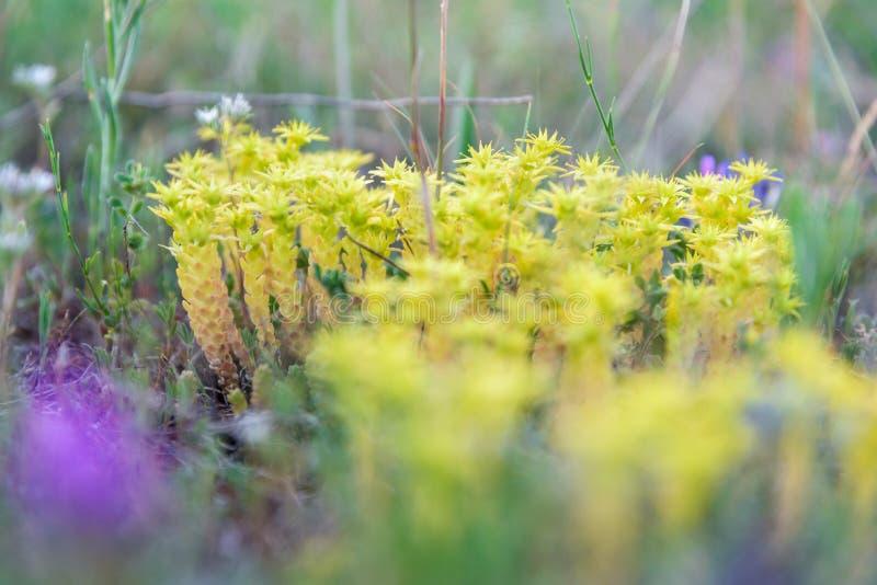 Le piccole piante gialle selvatiche si chiudono su immagine stock