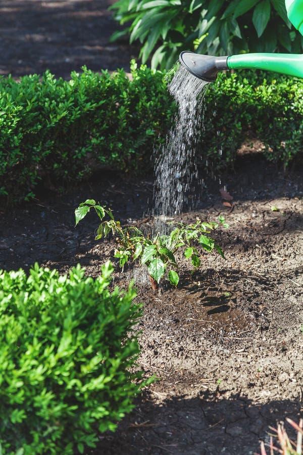 Le piccole rose di arbusto versano dall'annaffiatoio verde fotografia stock libera da diritti