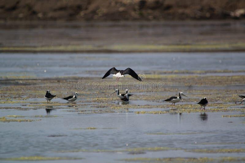 Le pied, aussi connu sous le nom de pilon à tête blanche, est un oiseau de rivage de la famille Recurvirostridae image stock