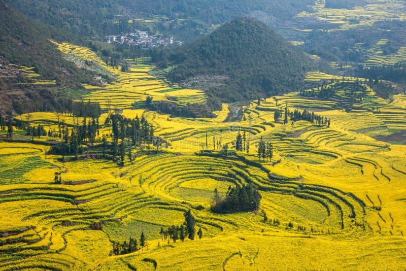 Le pied de camp de banlieue noire de Niujie du comté de Yunnan Luoping visse la fleur en terrasse de canola images libres de droits