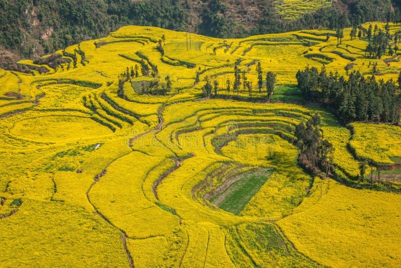 Le pied de camp de banlieue noire de Niujie du comté de Yunnan Luoping visse la fleur en terrasse de canola photos libres de droits