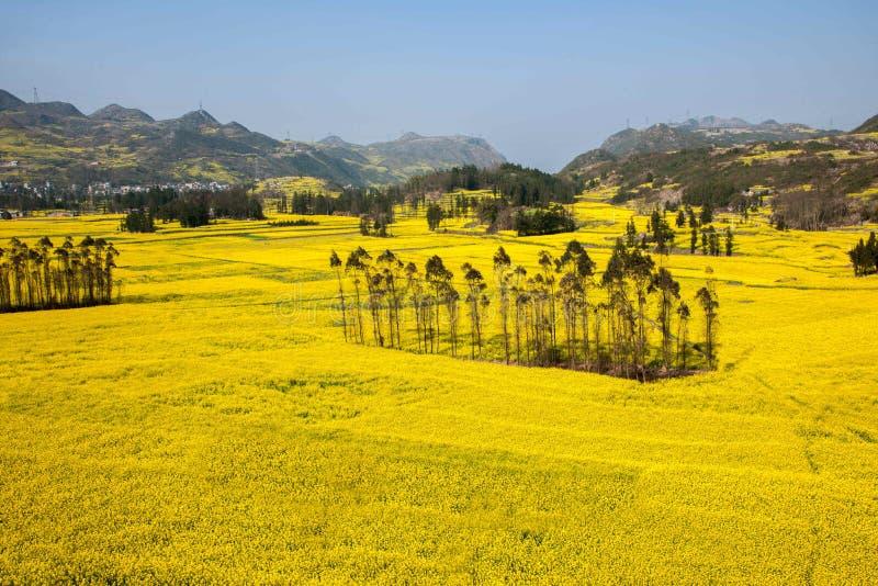 Le pied de camp de banlieue noire de Niujie du comté de Yunnan Luoping visse la fleur en terrasse de canola photos stock