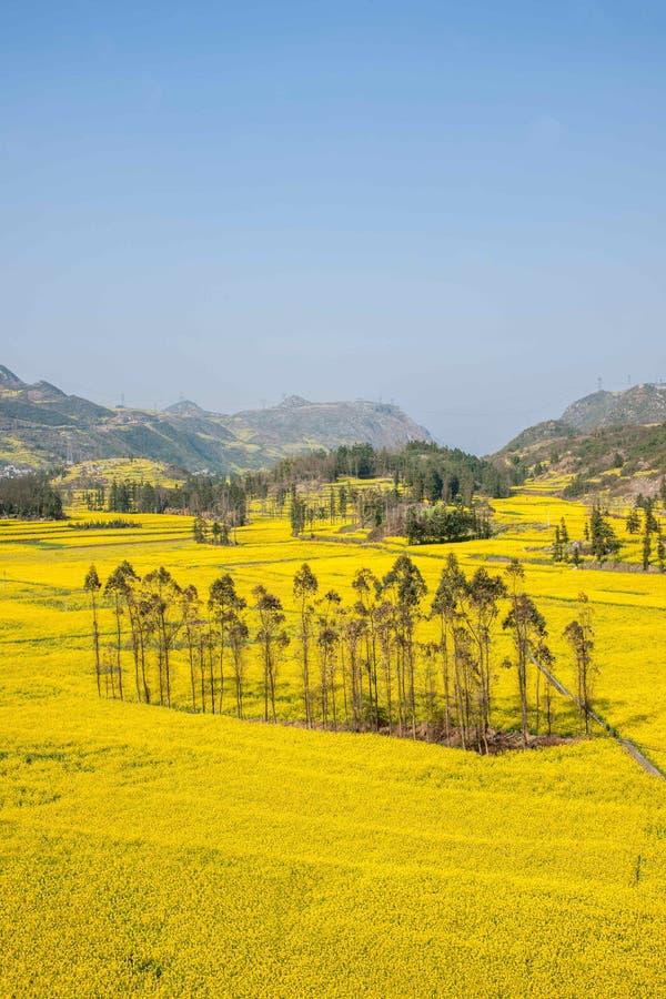 Le pied de camp de banlieue noire de Niujie du comté de Yunnan Luoping visse la fleur en terrasse de canola photo libre de droits