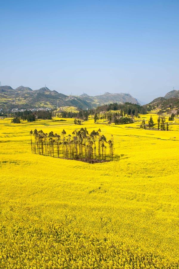 Le pied de camp de banlieue noire de Niujie du comté de Yunnan Luoping visse la fleur en terrasse de canola photo stock
