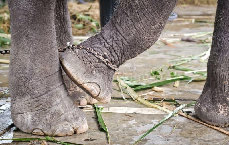 Le pied de l'éléphant attaché à une chaîne photographie stock