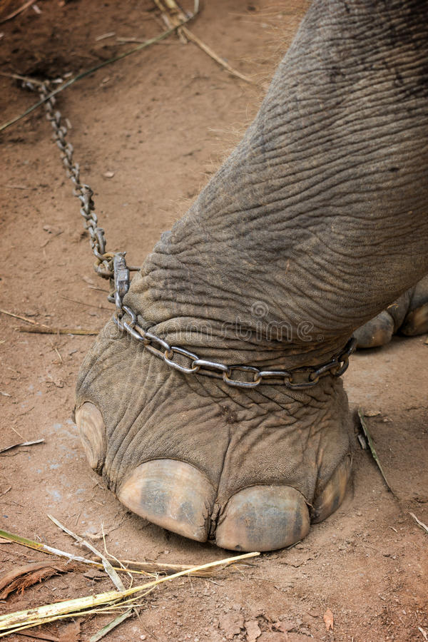 Le pied de l'éléphant attaché à une chaîne en métal images libres de droits