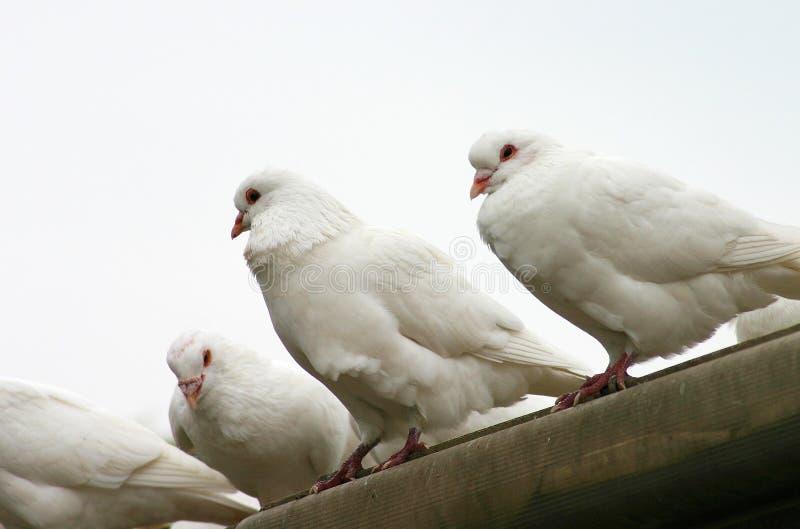 Le pigeon photo stock