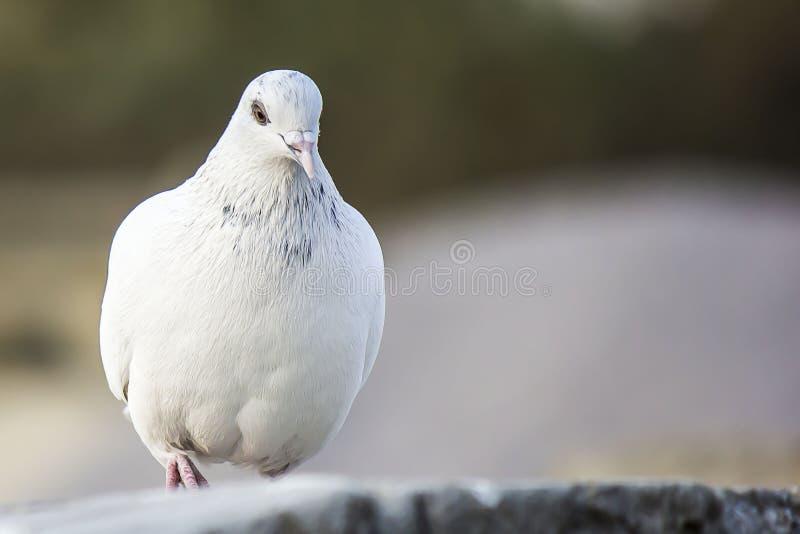Le pigeon a aka plongé de l'amour photographie stock libre de droits