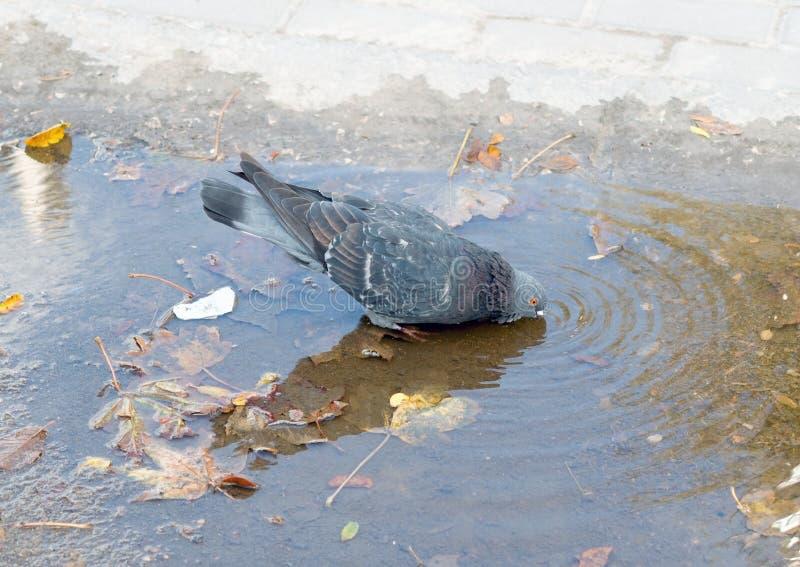 Le pigeon boit l'eau image libre de droits