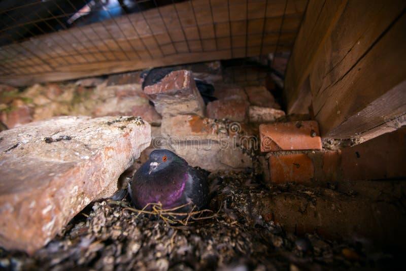 Le pigeon de colombe se repose sur le nid photos libres de droits