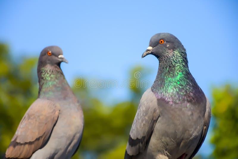 Le pigeon de cupple parewa photos libres de droits