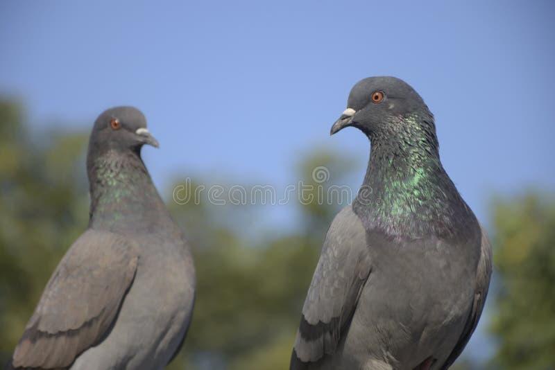 Le pigeon de cupple parewa photo stock