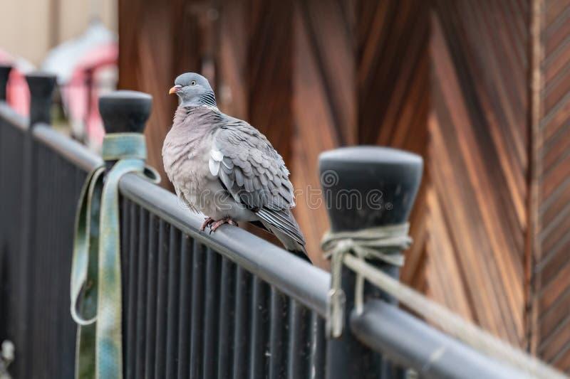 Le pigeon de gel se reposant sur la balustrade un jour froid d'hiver images libres de droits