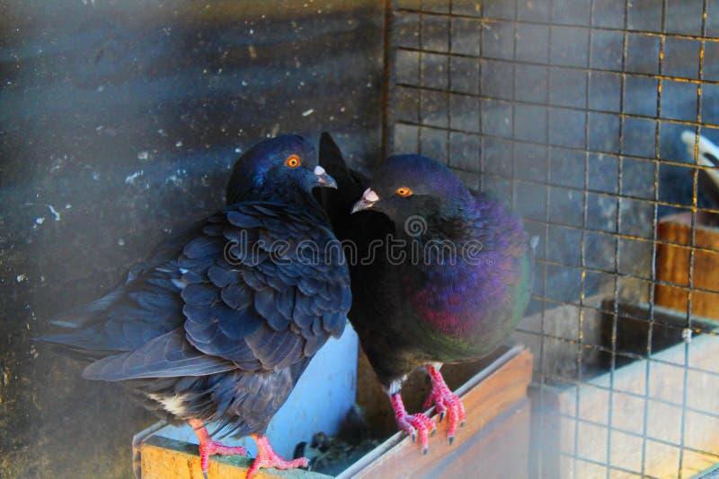 Le pigeon de rouleau de couples images libres de droits