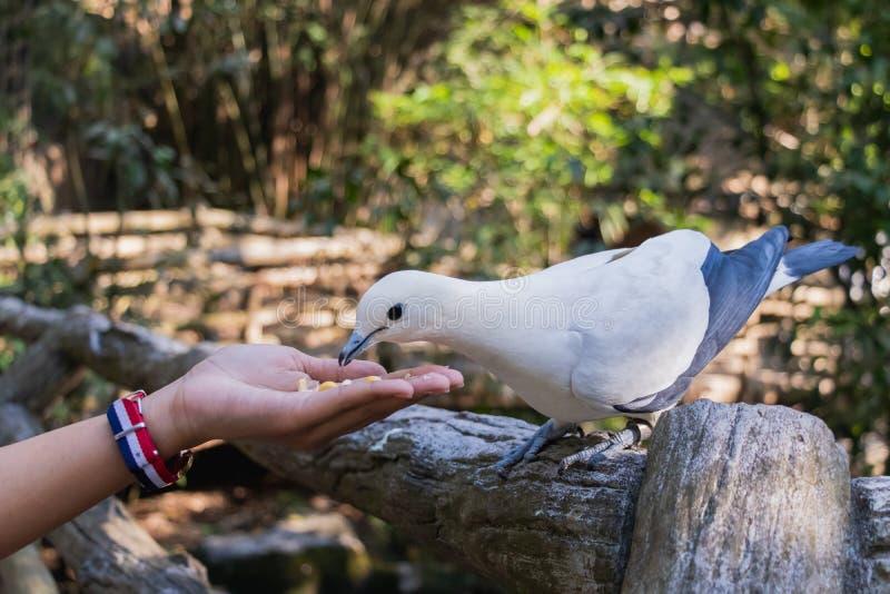 Le pigeon impérial pie Ducula bicolore se tient sur le Fe en bois images stock