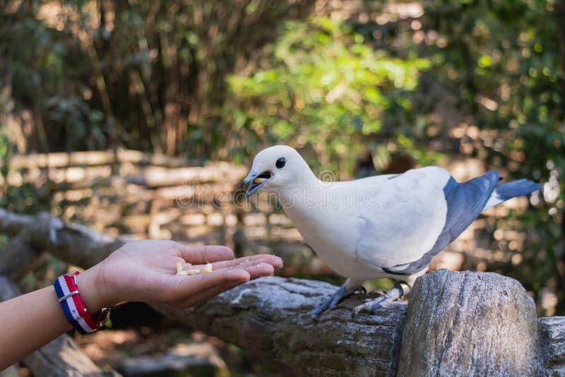 Le pigeon impérial pie Ducula bicolore se tient sur le Fe en bois image libre de droits