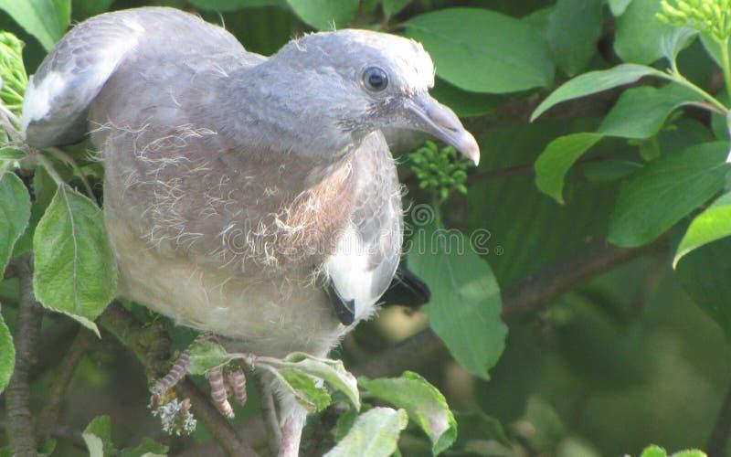 Le pigeon pilote l'arbre photo stock
