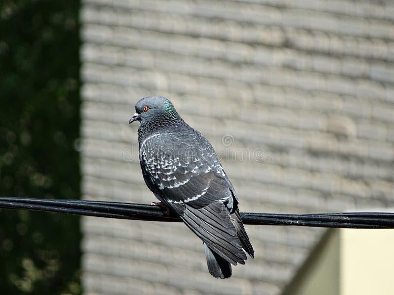 Le pigeon se repose après un long vol photographie stock libre de droits