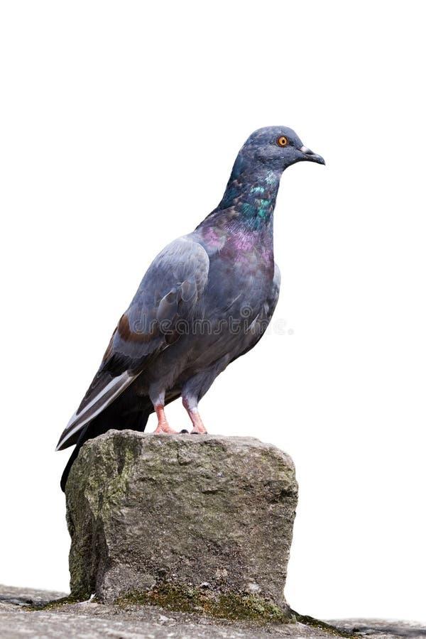 Le pigeon se repose sur une roche. images libres de droits