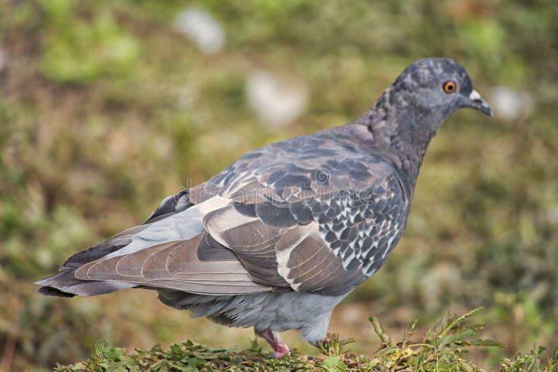 Le pigeon seul en parc images stock
