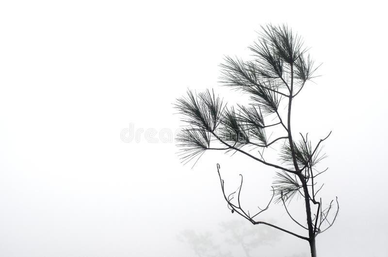 Le pin de Kesiya dans la brume, le contexte est blanc avec le brouillard et photographie stock