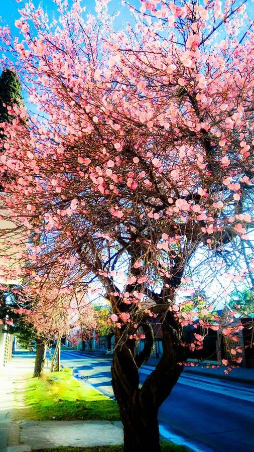 Le Pin fleurit l'arbre photo stock