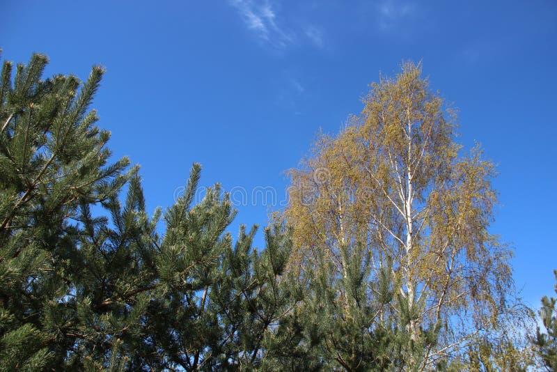 Le pin Forest Plants Budding Young Green part au printemps image libre de droits