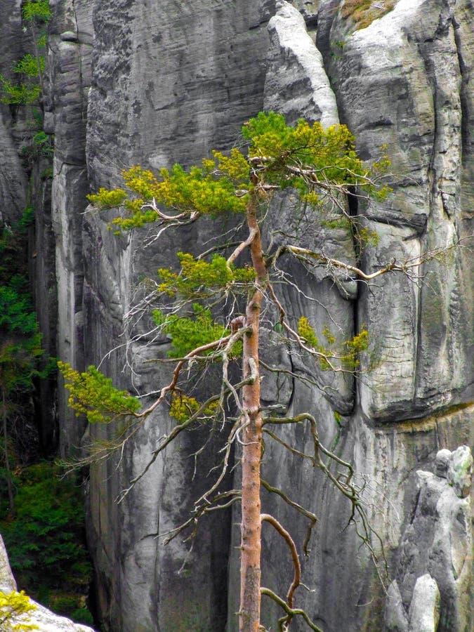 Le pin simple parmi de hautes roches dans le pach-Teplice de ¡ d'AdrÅ bascule dans CZechia image libre de droits