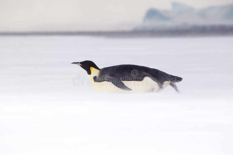Le pingouin d'empereur là-dessus est ventre en mer de Weddell photographie stock libre de droits