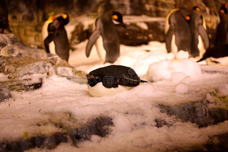 Le pingouin dans le seaworld photo stock