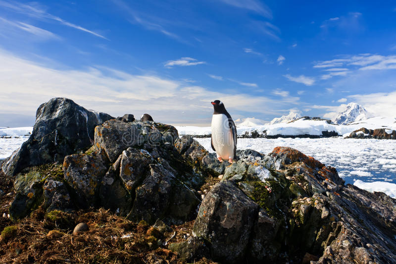 Le pingouin protège son emboîtement photo libre de droits