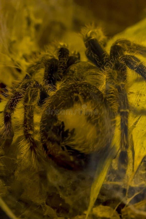 Le Pinkfoot Goliath Tarantula en nature est rarement vu image libre de droits
