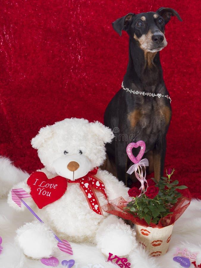 Le Pinscher allemand mignon soit mon Valentine photos libres de droits