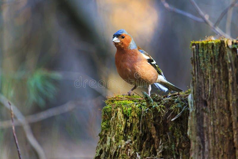 Le pinson est sur la forêt de tronçon au printemps photographie stock