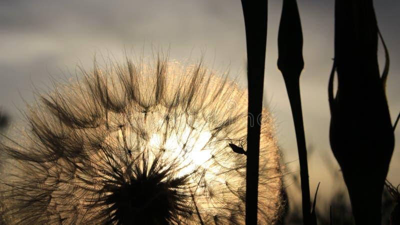 Le pissenlit a avalé le soleil photo stock