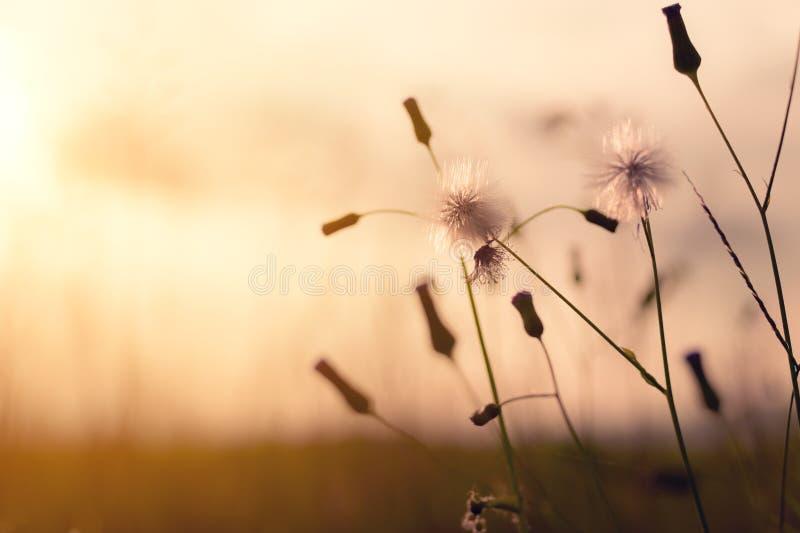 Le pissenlit de pré fleurit dans le domaine sur le coucher du soleil orange photo libre de droits